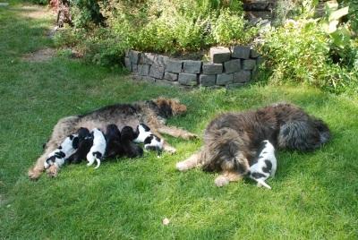 Otterhound - der Familie Fandler