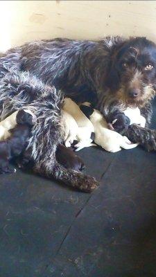 Deutscher drahthaariger Vorstehhund - der Familie Berends