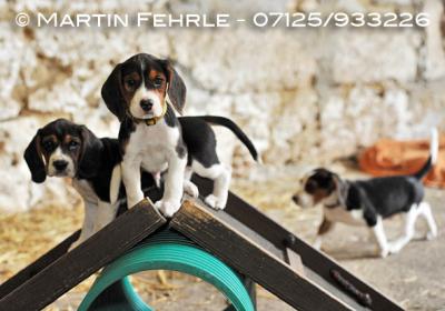 Beagle - der Familie Eißele